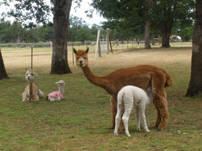 Chaska with her first cria, Venus