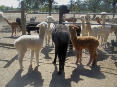 with dark fawn cria on left